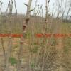 2米高银杏树苗价格多少,哪里有2米高银杏小苗