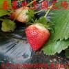 批发以斯列二号草莓苗 哪里有以斯列二号草莓苗 纯正脱毒草莓苗