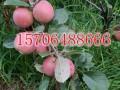 苹果苗 苹果树苗