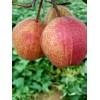 1公分2公分3公分4公分5公分早酥红梨树苗价格、早酥红梨树苗