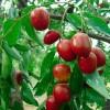 丰产稳产枣树苗品种  嫁接枣树苗基地 哪里有卖枣树苗