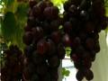 果树苗 葡萄苗供应