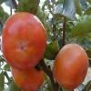 阳丰甜柿子苗价格 阳丰甜柿子苗哪里有卖?