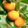山东泰安甜柿子苗种植基地 甜柿子苗价格