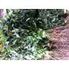 香樟树球苗
