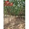 3公分杏树品种、3公分杏树哪里有;3公分杏树多少钱