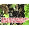湖南树葡萄|湖南树葡萄多少钱一棵|长沙树葡萄嘉宝果树苗价格