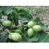 核桃苗嫁接苗薄皮核桃树苗8518南方北方种植地栽果树苗