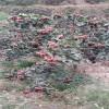 山楂苗供应 大金星山楂苗 大金星山楂苗丰产性高 宜于山区发展
