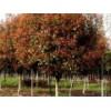 8公分红叶石楠树价格