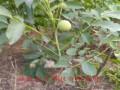 清香核桃苗多少钱 哪里卖核桃树