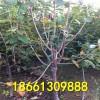 买美早樱桃树苗免费提供技术 樱桃苗热线18661309888