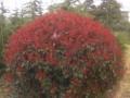 冠幅2米的红叶石楠球价格介绍
