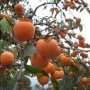 阳丰甜柿柿子苗长期出售中 好成活易管理柿子苗