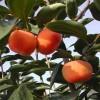 大秋甜柿(太秋)柿子苗批发出售中品种柿子苗