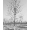 求购胸径15-16公分美国红枫