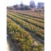 湿地松基地供应、优质一年生湿地松小苗、2公分湿地松图片