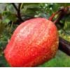 早酥红梨的亩产量是多少