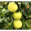 秋月梨苗哪里有卖 如何栽梨树 山东梨树苗基地