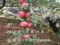 批发2公分柱状苹果苗