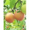 金太阳杏树苗价格 凯特杏树苗价格 珍珠油杏树苗价格