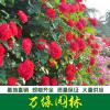 蔷薇、藤本蔷薇、大花蔷薇、蔷薇基地、有刺蔷薇、无刺蔷薇