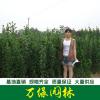 大量供应北海道黄杨,日本北海道黄杨,北海道黄杨苗基地