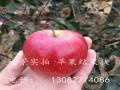 哪里有红肉苹果苗 批发红肉苹果树