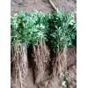 基地供应花椒树 专业生产种植花椒树 保证成活率 免费提供技术
