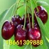 吉塞拉樱桃树苗哪里有售 吉塞拉樱桃树苗种植方法 免费提供技术