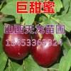 巨甜蜜钙果苗-农大钙果苗-黑钙果苗-西部钙果苗包邮