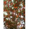 10-200公分金丝楠木、红丹桂价格