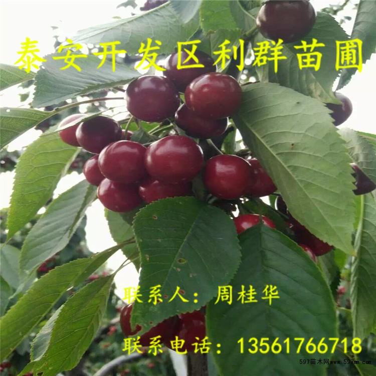 山东矮化樱桃树苗 山东矮化大樱桃树苗价格|果树小苗