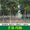 供应栾树、栾树基地、黄山栾树、北京栾树、南栾、北栾