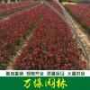 红叶石楠图片-红叶石楠价格-沭阳绿化苗木基地产地直销
