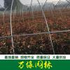 红叶石楠价格_红叶石楠产地_红叶石楠绿化苗木