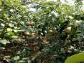 翠冠梨树苗供应