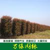 红叶石楠柱价格_红叶石楠柱产地_红叶石楠柱绿化苗木