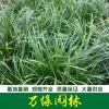 大叶麦冬草、中叶麦冬草、小叶麦冬草、金边麦冬草、彩叶麦冬草