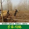 意杨树图片-意杨树价格-绿化苗木基地产地