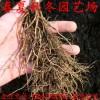 批发草莓苗 脱毒二代种苗 草莓苗哪里的种苗好 草莓苗