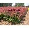 沭阳红叶小檗35公分高价格 江苏红叶小波价格