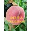 中蟠17号桃树苗哪里有 山东中蟠17号桃树苗价格 一棵多少钱