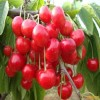 3公分樱桃苗基地 白玉樱桃苗多少钱一棵