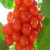 白玉樱桃苗管理 2公分樱桃苗市场价格