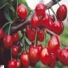 白玉樱桃苗品种 1公分樱桃苗缓苗技术