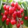 雷尼樱桃苗价格 3公分樱桃苗当年结果
