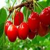 4公分樱桃苗多少钱 1公分樱桃苗种植前景