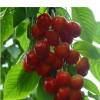 美早樱桃苗品种 吉塞拉樱桃苗挂果时间