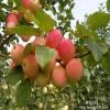 1公分苹果苗上市 2公分苹果苗适应地区